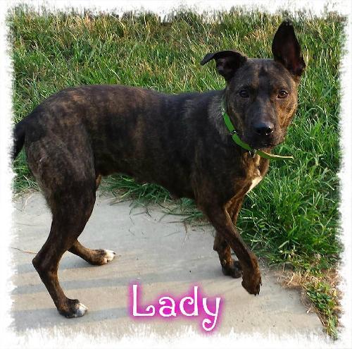 Adopt Lady a Shepherd