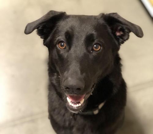 Adopt Jayda a Labrador Retriever
