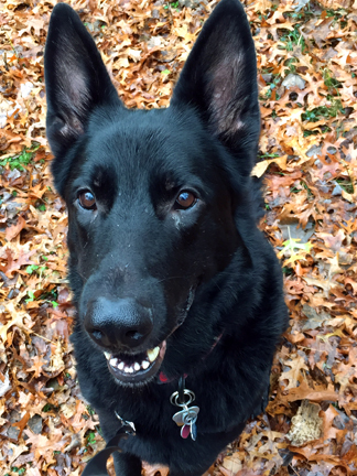 Adopt Frye a German Shepherd Dog