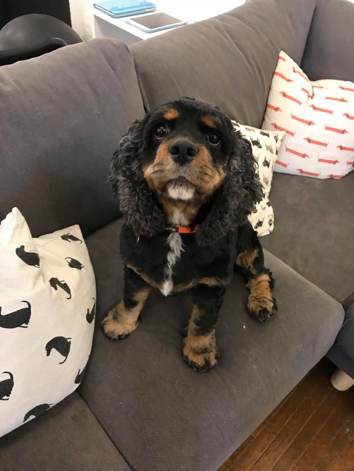 Adopt ADDIE**5 YRS OLD a Cocker Spaniel