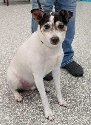 Adopt Joseph a White Rat Terrier / Mixed dog in Carroll, IA (20536193)