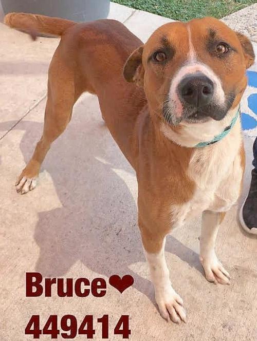 Adopt 449414 Boxer a Boxer, Labrador Retriever