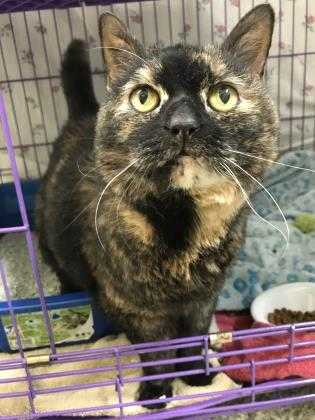 Adopt Freya a All Black Domestic Shorthair / Domestic Shorthair / Mixed cat in