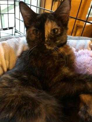 Adopt Frabosa a All Black Domestic Shorthair / Domestic Shorthair / Mixed cat in
