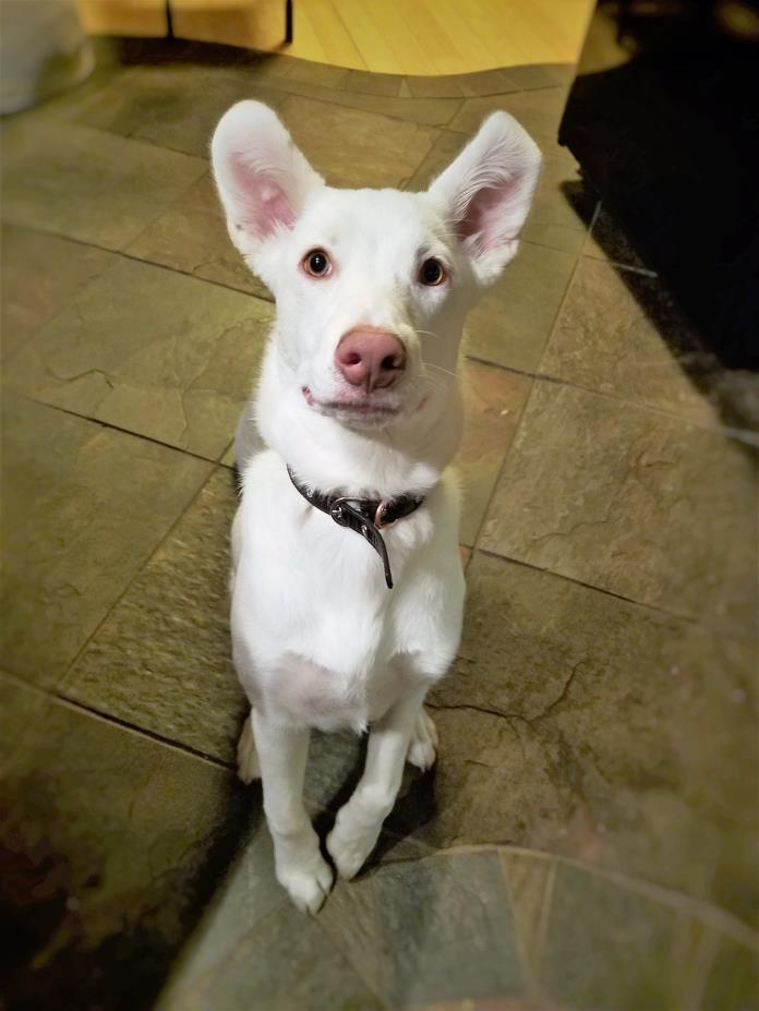 Adopt Sweet Pea a Australian Cattle Dog / Blue Heeler, Husky
