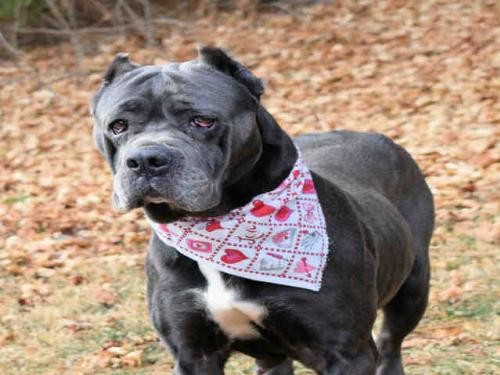 Adopt JANNIE a Gray/Blue/Silver/Salt & Pepper Mastiff / Mixed dog in