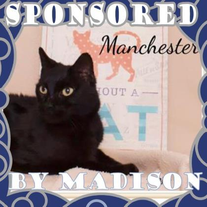 Adopt Manchester a All Black Domestic Shorthair / Domestic Shorthair / Mixed