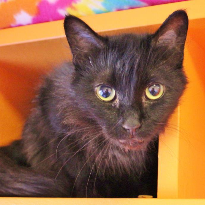 Adopt Alta a Domestic Medium Hair