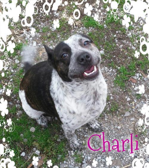 Adopt Charli a Australian Cattle Dog / Blue Heeler