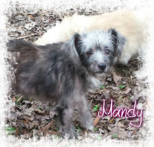 Adopt Mandy a Terrier