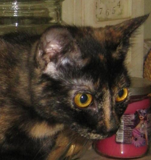 Adopt Snickers a Tortoiseshell Domestic Shorthair / Mixed (short coat) cat in