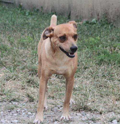 Adopt Chastain a Terrier