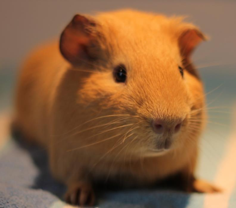 Adopt Graham and Kriss a Guinea Pig