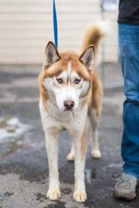 Adopt Malakai a Red/Golden/Orange/Chestnut Husky / Mixed dog in Fresno CA