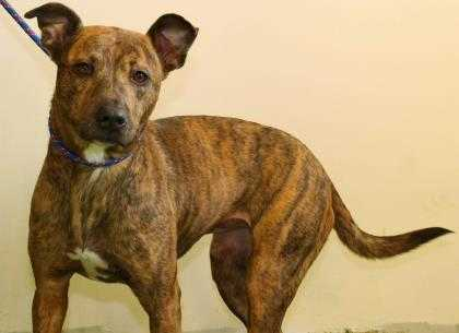 Adopt Roxy a Red/Golden/Orange/Chestnut Mixed Breed (Large) / Mixed dog in