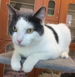 Adopt Conner a Domestic Short Hair