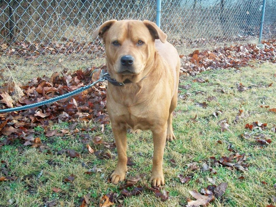 Adopt Maddie a Red/Golden/Orange/Chestnut Boxer / Chow Chow / Mixed dog in