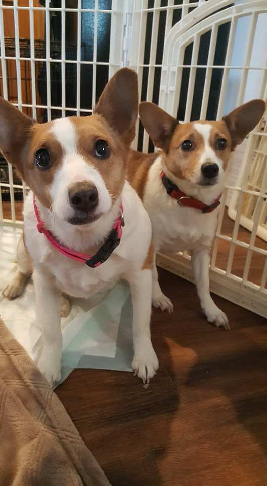 Adopt Kit and Emmy a Corgi, Jack Russell Terrier