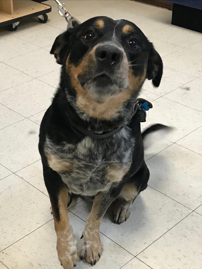 Adopt Javier a Rottweiler, Cattle Dog