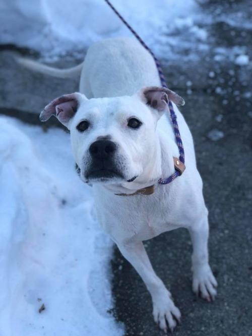 Adopt Mandy a American Staffordshire Terrier / Mixed dog in Whitestone