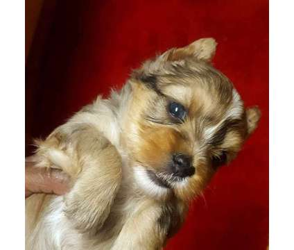 Merle Yorkie Male with Blue Diamond Eye