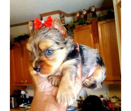 Blue Merle Yorkie Female with a Blue Diamond Eye