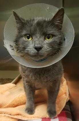 Adopt Geoph a Gray or Blue Domestic Shorthair / Domestic Shorthair / Mixed cat