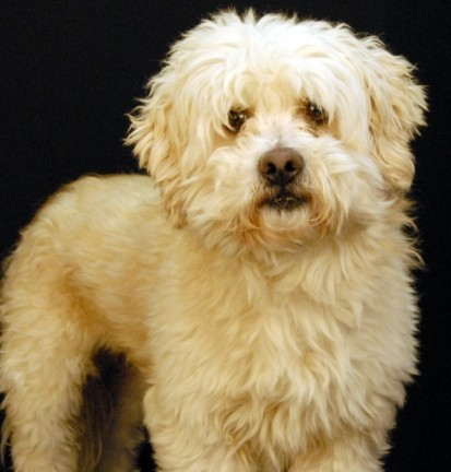 Adopt Prince a White Poodle (Miniature) / Mixed dog in Newland, NC (20536422)