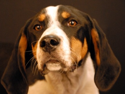 Adopt Hooch a Tricolor (Tan/Brown & Black & White) Treeing Walker Coonhound /