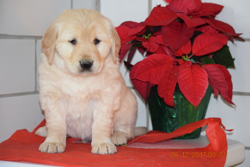 Golden Retriever PUPPY FOR SALE ADN-63225 - AKC Registered Golden Retriever Male