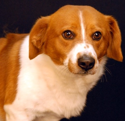 Adopt Fred a Red/Golden/Orange/Chestnut - with White Corgi / Mixed dog in
