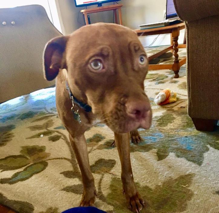 Adopt Lucille Ball a Pit Bull Terrier