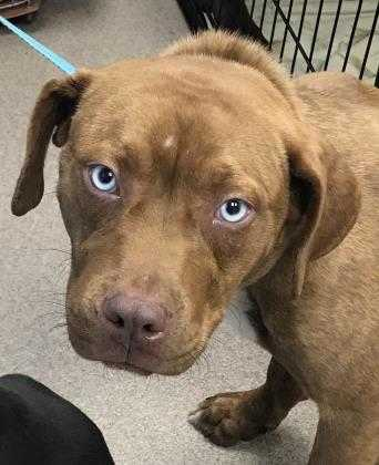Adopt Coolibah a Brown/Chocolate Mixed Breed (Small) / Mixed dog in Chamblee