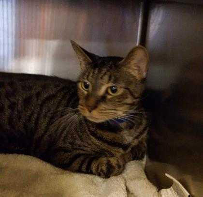 Adopt Deano a Brown or Chocolate Domestic Shorthair / Domestic Shorthair / Mixed