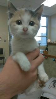 Adopt Agnitha 113203 a Brown or Chocolate Domestic Mediumhair (short coat) cat