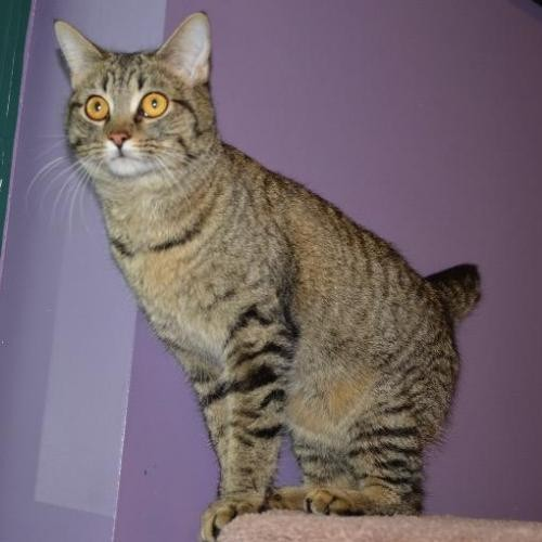 Adopt Cynthia a Domestic Shorthair / Mixed cat in Little Rock, AR (20524183)