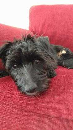 Adopt Sabrina a Black Scottie, Scottish Terrier / Mixed dog in Helena