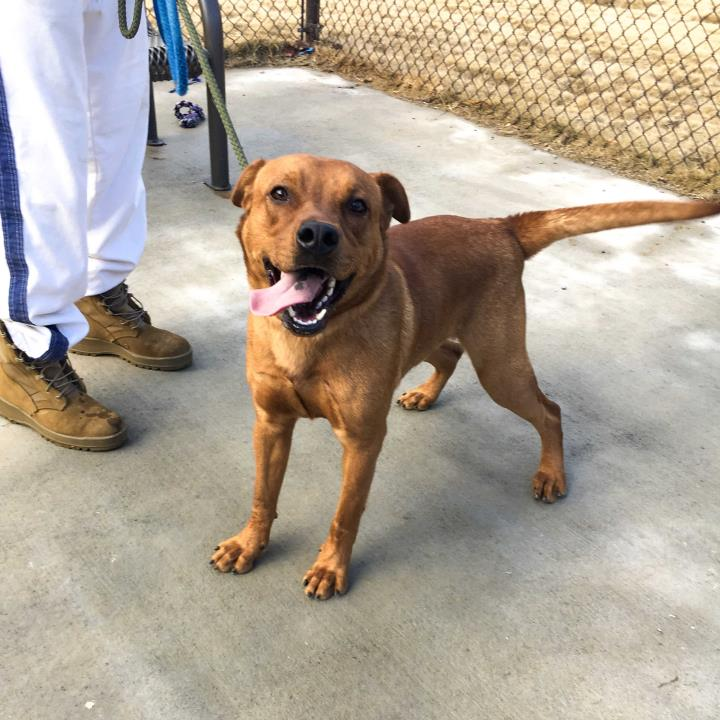 Adopt Buddy a Red/Golden/Orange/Chestnut Labrador Retriever / Hound (Unknown