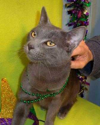 Adopt Grayboy a Gray or Blue Russian Blue / Domestic Shorthair / Mixed cat in