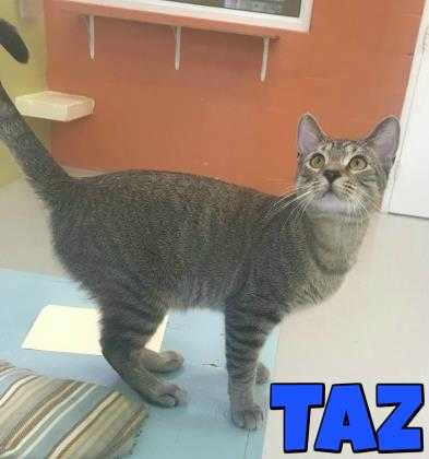 Adopt Taz a Gray or Blue Domestic Shorthair / Domestic Shorthair / Mixed cat in