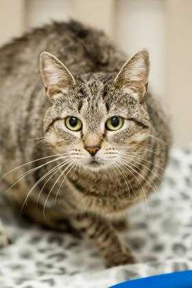 Adopt Mia a Gray or Blue Domestic Shorthair / Domestic Shorthair / Mixed cat in