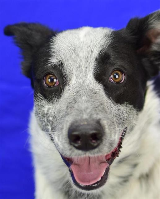 Adopt Pepe a Black Australian Cattle Dog dog in Pagosa Springs, CO (20715655)