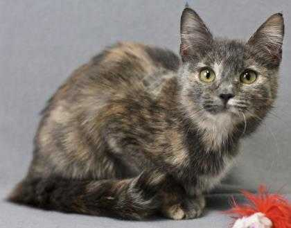 Adopt Leather a Gray or Blue Domestic Shorthair / Domestic Shorthair / Mixed cat