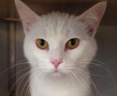 Adopt Jerry a White Domestic Shorthair / Mixed cat in Bauxite, AR (20524505)