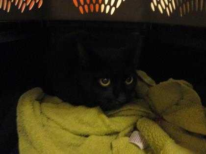 Adopt Zoe a All Black Domestic Shorthair / Domestic Shorthair / Mixed cat in