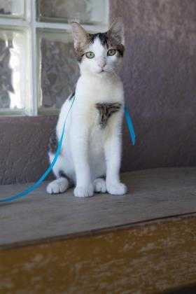 Adopt Pebbles a White Domestic Shorthair / Domestic Shorthair / Mixed cat in
