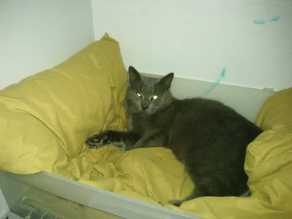 Adopt Dorian a Gray or Blue American Shorthair / Mixed cat in Jacksonville