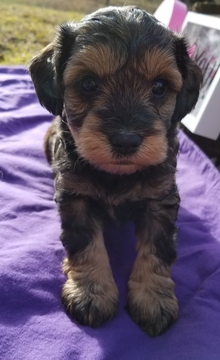 Schnoodle (Miniature) PUPPY FOR SALE ADN-63219 - CKC Male Schnoodles