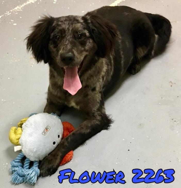 Adopt Flower-URGENT a Merle Australian Shepherd / Mixed dog in Allen town
