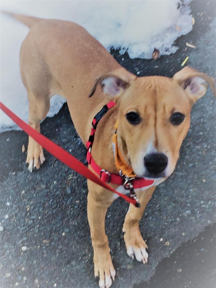 Adopt Cassie a Tan/Yellow/Fawn Hound (Unknown Type) / Mixed dog in Norwalk